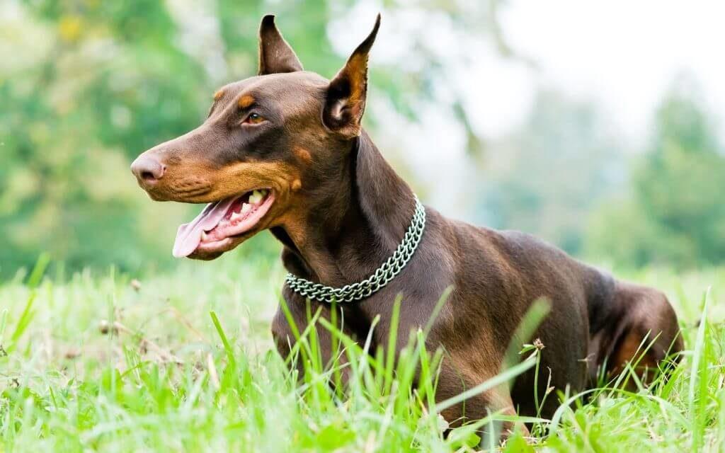 Собака породы Доберман коричневый