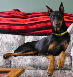 Доберман на диване