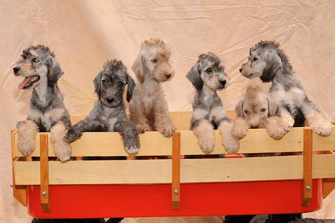 бедлингтон-терьер щенки