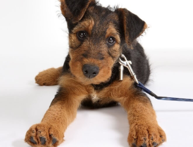 Эрдельтерьер щенок