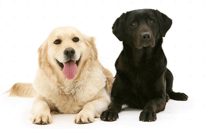 Отличия между ретривером и лабрадором: внешность, характер, здоровье и уход