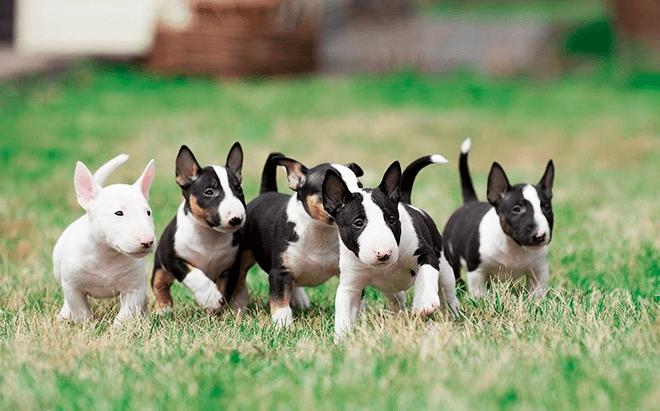 мини бультерьер щенки