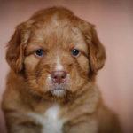 Новошотландский ретривер щенок