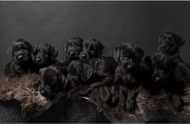 Ризеншнауцер щенки
