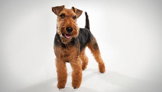 welsh-terrier