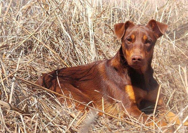Ягдтерьер и другие собаки