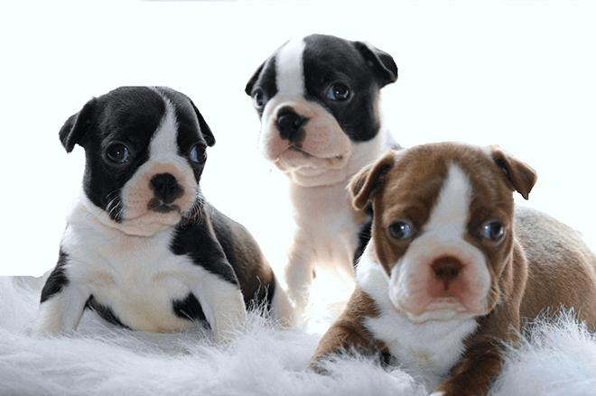 бостон-терьер щенки
