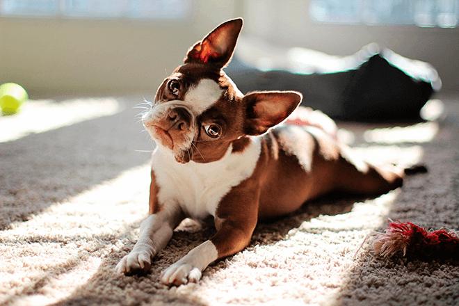 любознательный пес
