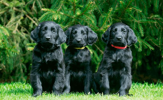 прямошерстный ретривер щенок