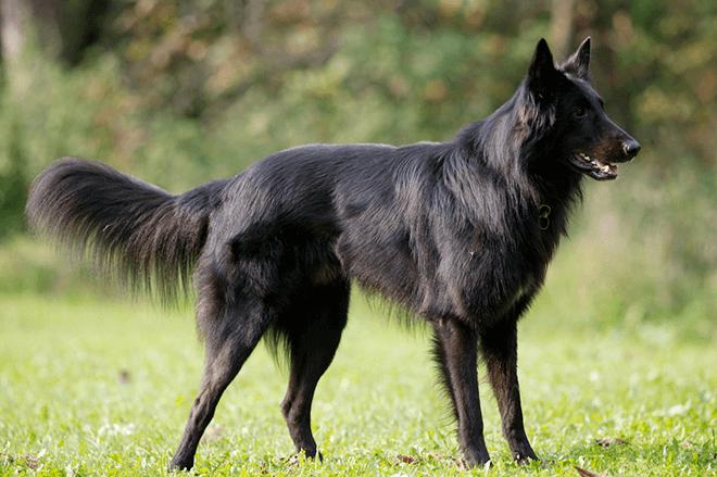 черная овчарка