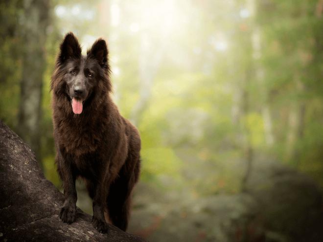 коричневая бельгийская собака