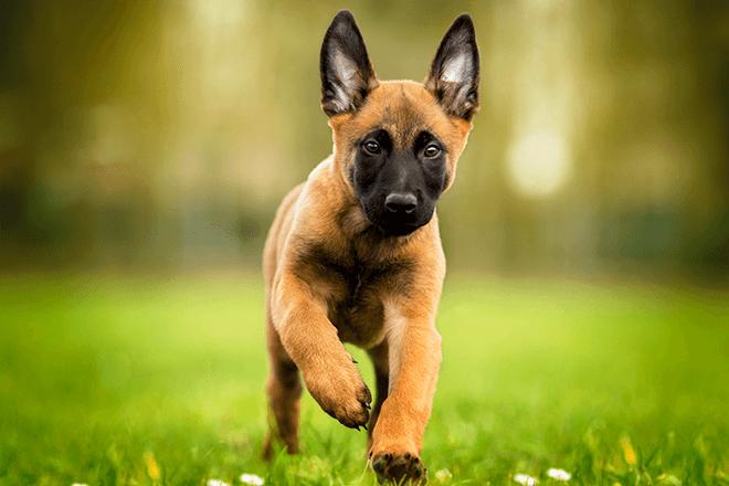 бельгийская овчарка щенок