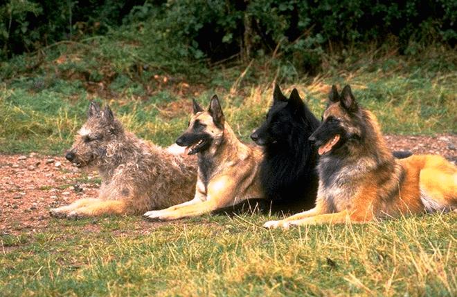 бельгийская овчарка разновидности