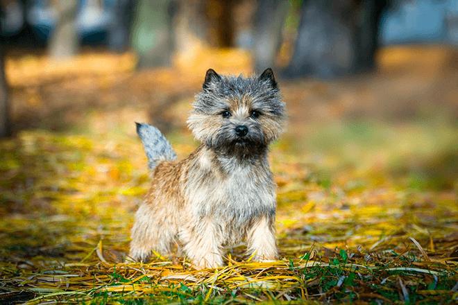 керн-терьер щенок