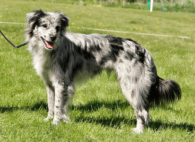 пиренейская овчарка