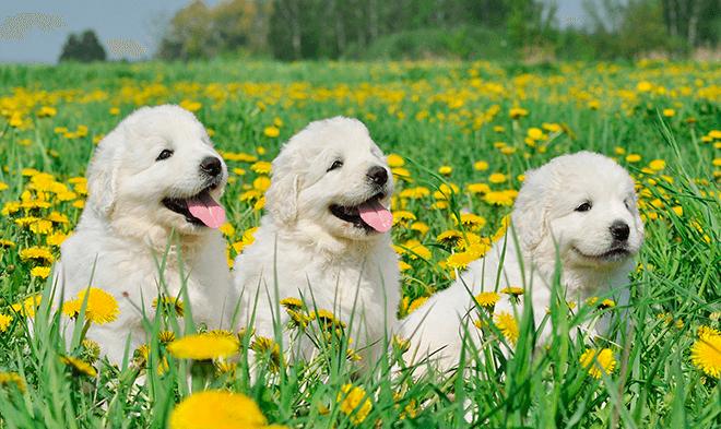 польская подгалянская овчарка щенки