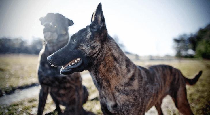 голландская собака