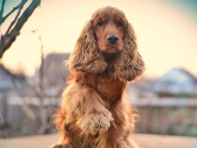 Красивая английская собака