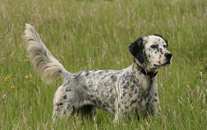 Собака для охоты фото