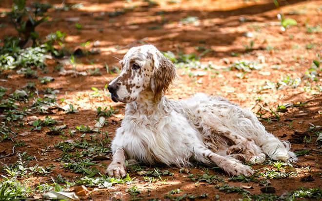 охотничья порода собаки фото