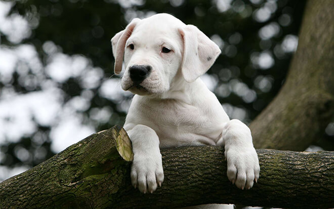 аргентинский дог щенок