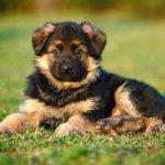 щенок немецкой овчарки