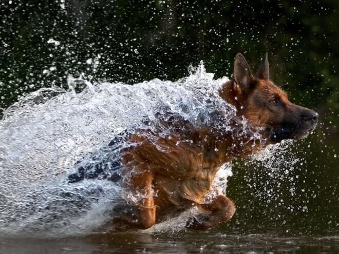 немецкая овчарка в воде