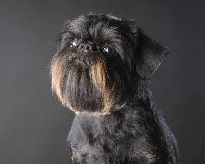 собака черный гриффоны