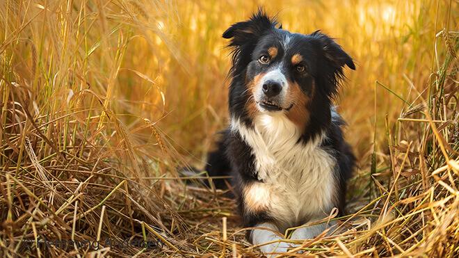 Бордер-колли в траве