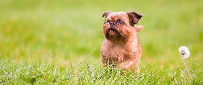 Гриффон бежит в траве