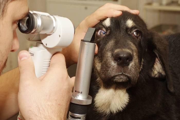 обследование глаза собаки