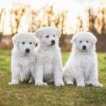 Маремма-абруццкая овчарка щенок