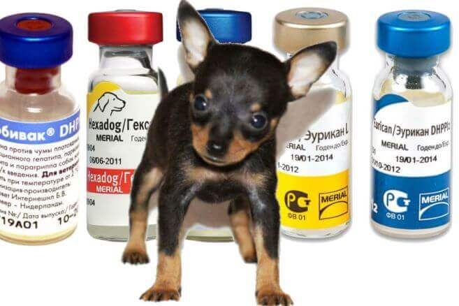 Прививка (вакцина) от бешенства собаке помогает или нет