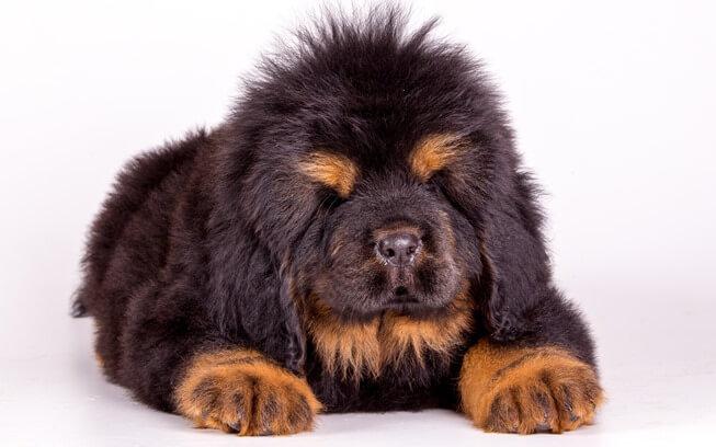 Тибетский мастиф щенок