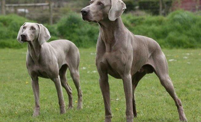 веймаранер две собаки