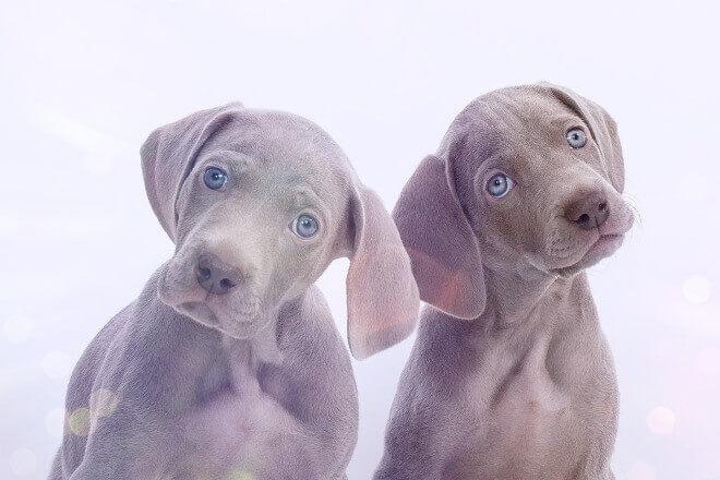 веймаранер щенок