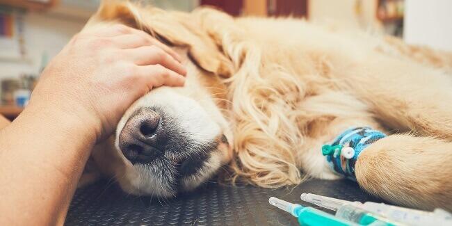 Пироплазмоз у собаки – симптомы и лечение