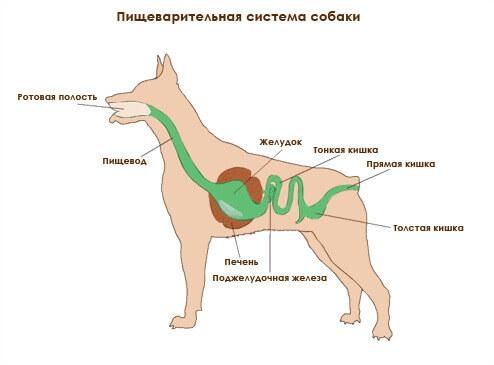 пищеварительная система собаки