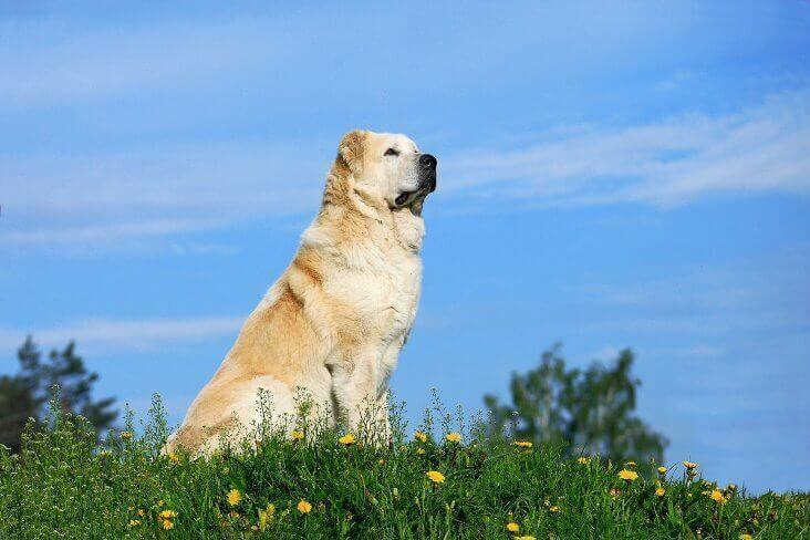 Сторожевая собака алабай