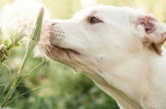 Что дать собаке от аллергии