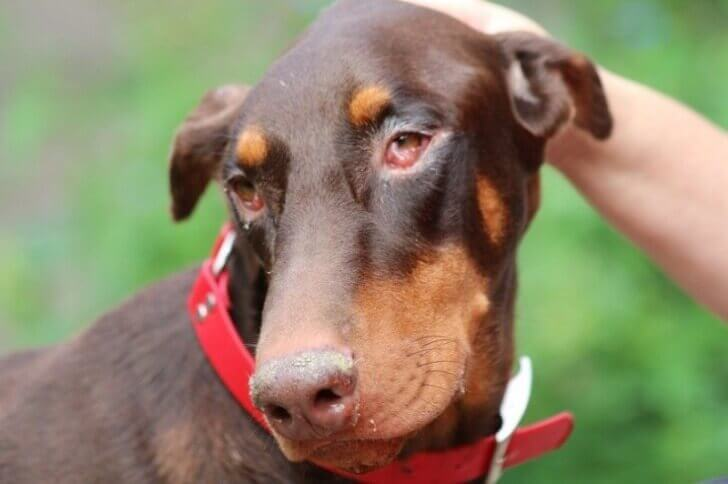 красные глаза у собаки