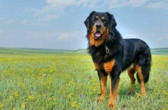 Бурят-монгольский волкодав фото