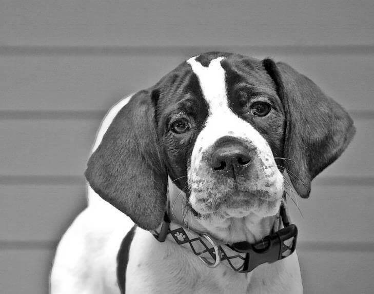 Фото щенка английского пойнтера