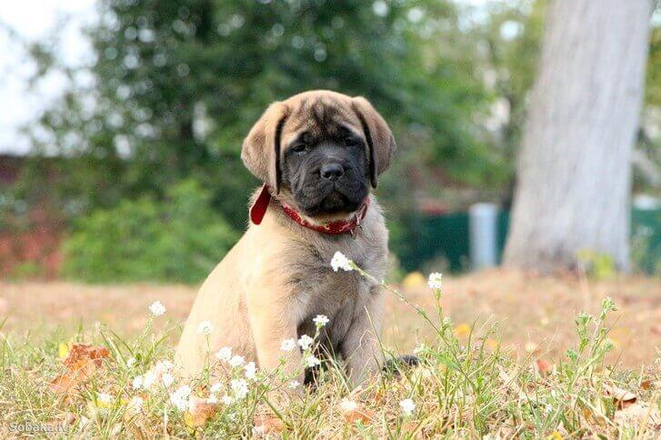 Английский мастиф щенок