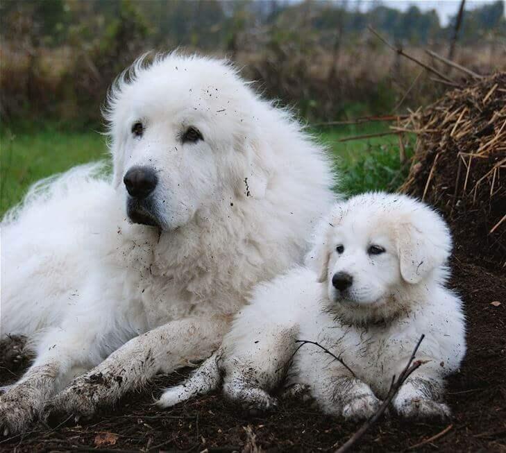 Пиренейцы взрослый и щенок