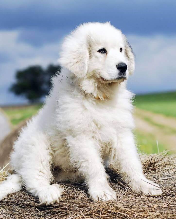 Пиренейская горная собака щенок