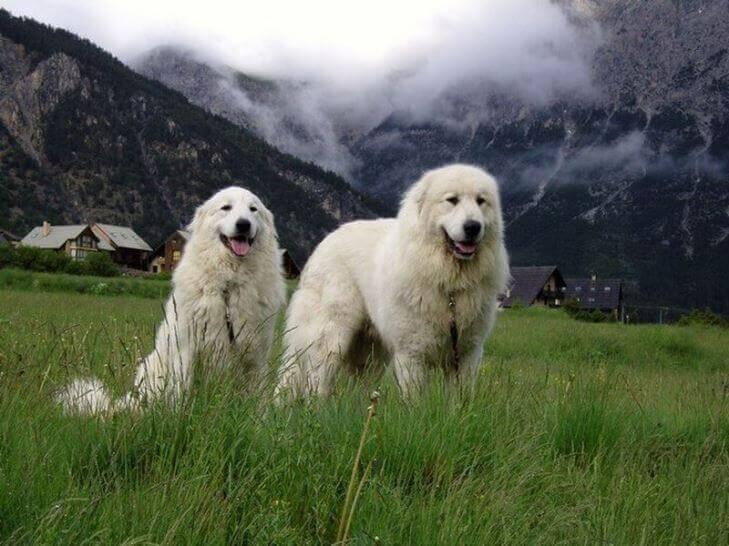 Пиренейская горная собака — описание породы