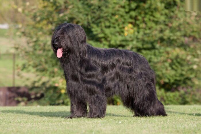 Бриар порода собак 🐶