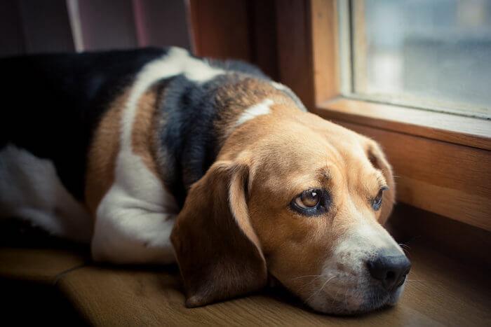 Собака после прививки от бешенства вялая 👨🏼🔬