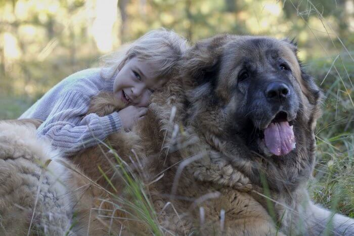 Кавказский волкодав